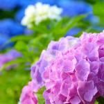 え?紫陽花の色が急に変わった!花の色って変えられるの?