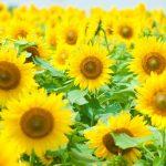 この夏行きたい絶景のひまわり畑はココ!!|関東地区